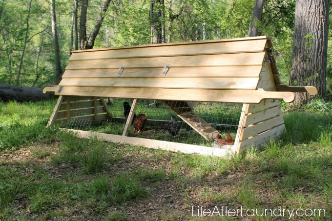 side-effects-of-raising-backyard-chickens-via-lifeafterlaundry.com_